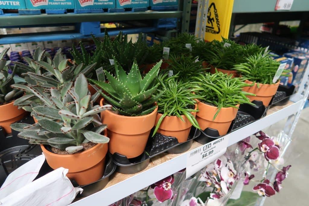 succulents-price-bjs-club