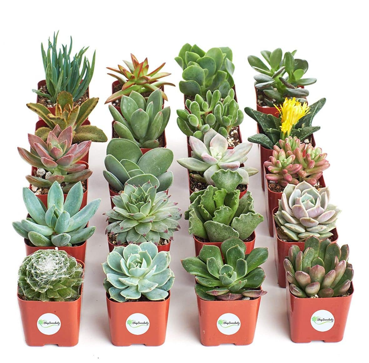 Succulents on Amazon