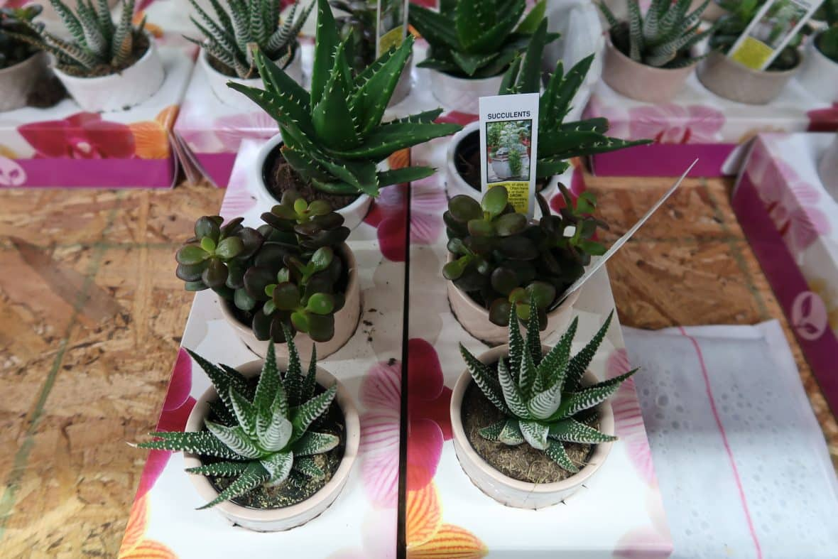 3 Pk. Succulents $6.99 at BJs
