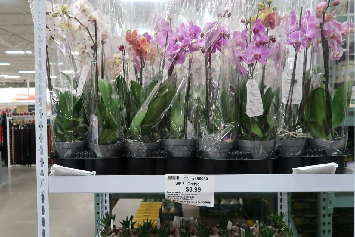 orchids at BJs wholesale club
