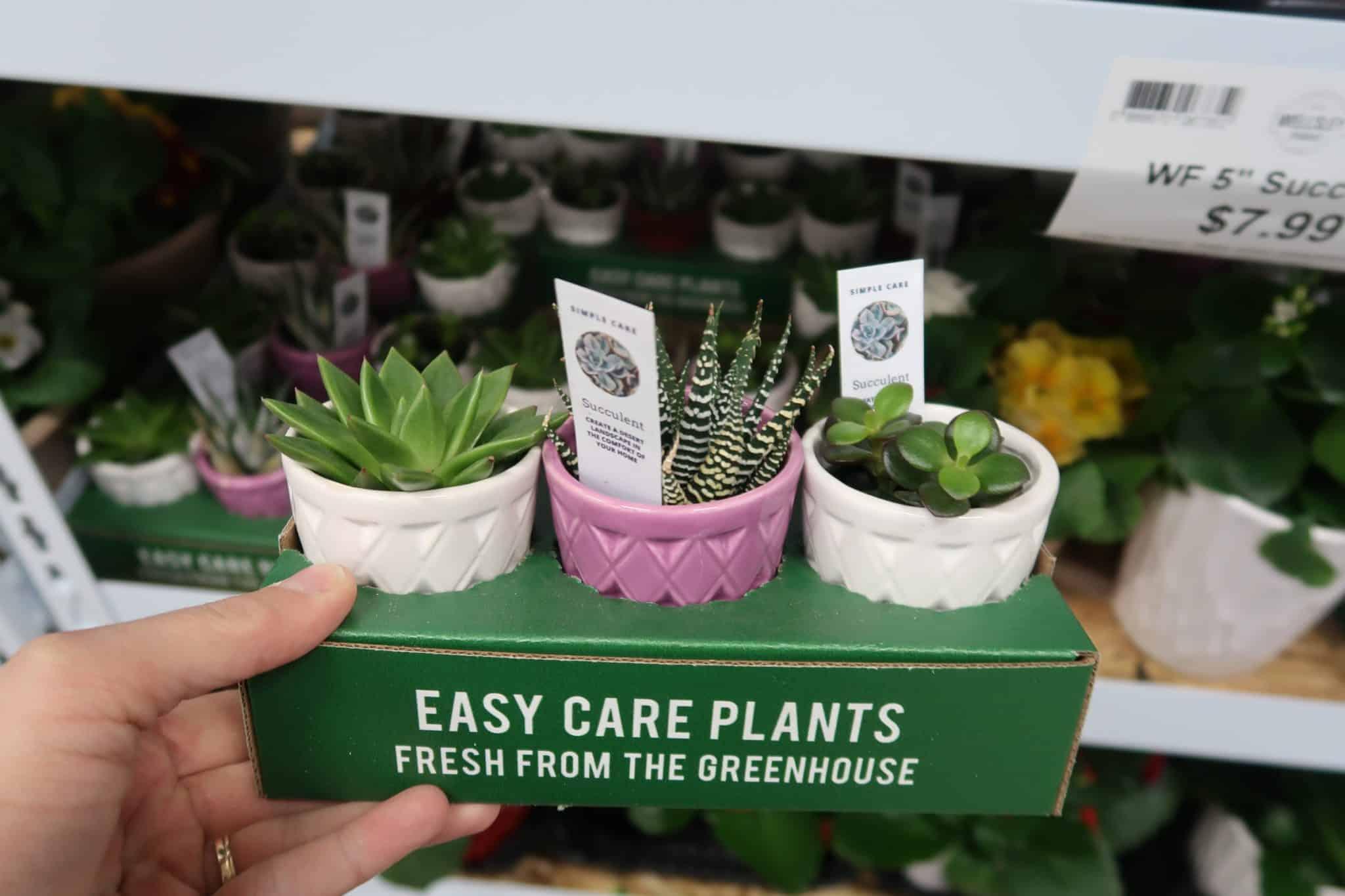 Cute New Mini Succulents & Plants at BJs
